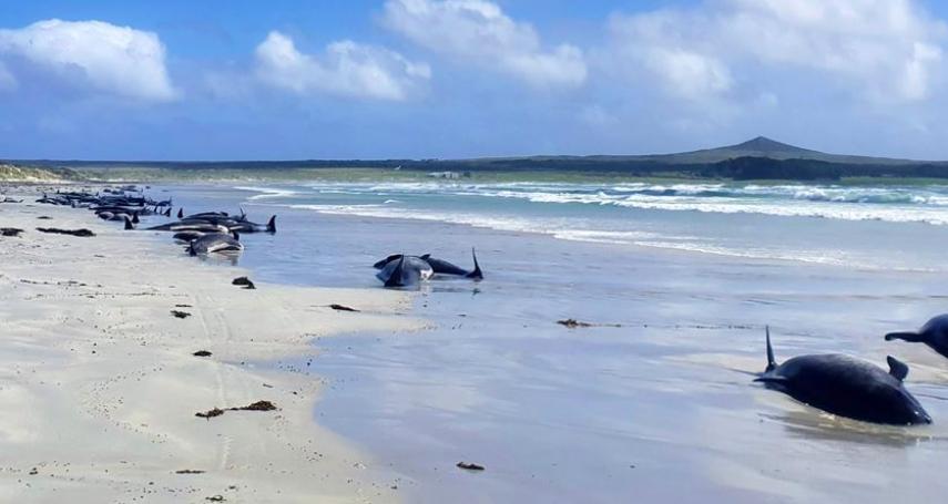 紐西蘭查塔姆群島鯨豚集體擱淺,逾120隻鯨豚不幸死亡