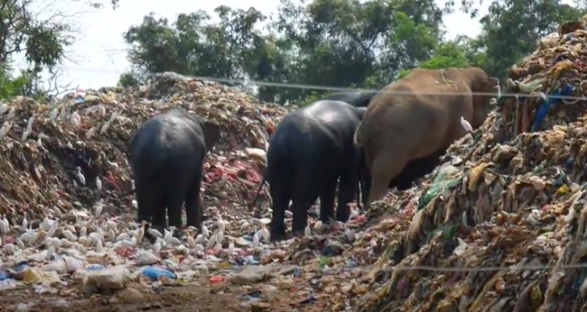 野生大象吃垃圾維生!人象衝突加劇 斯里蘭卡挖壕溝預防遭批不治本