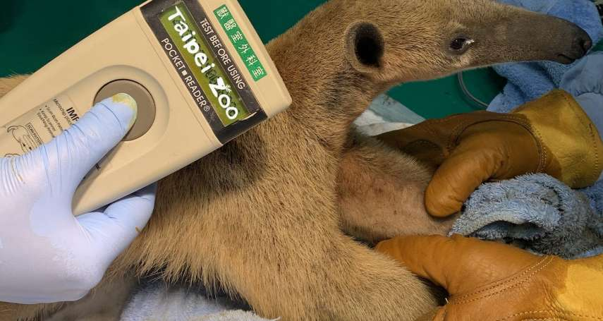 逃離北市動物園3個月 食蟻獸「小紅」在深坑找到了