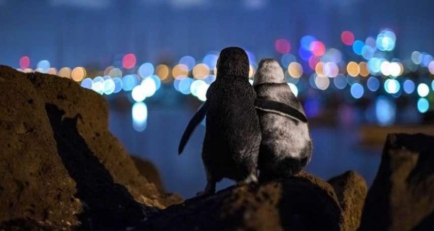 2020海洋攝影大賞:兩隻各自喪偶的企鵝,彼此依偎看著遠處城市的燈光