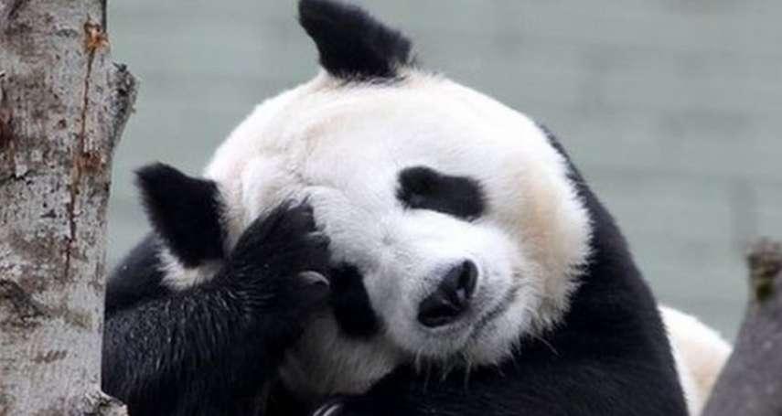 英國愛丁堡動物園喊窮:我們養不起貓熊了!「陽光」和「甜甜」準備返回中國
