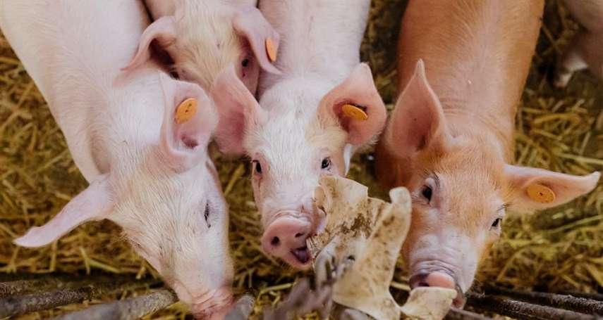 為什麼科學家要研發基改豬?對人類是好、是壞?一文揭露真相