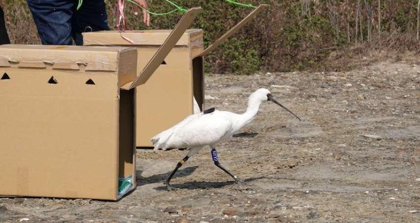 黑面琵鷺救援成功 布袋濕地進行野放