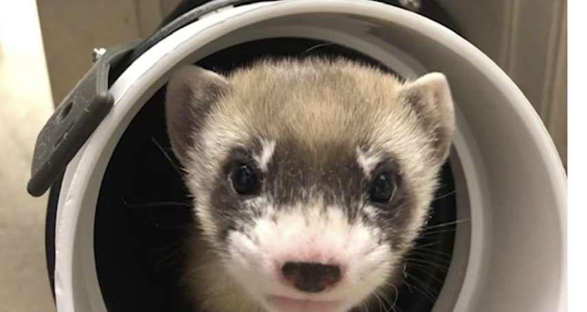 北美第一隻複製瀕危動物!超可愛「黑足鼬」亮相 基因來自1988年冷凍細胞