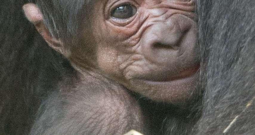 萌!台灣金剛猩猩「寶寶」荷蘭當爸 台荷聯姻小猩猩最快3月底露面