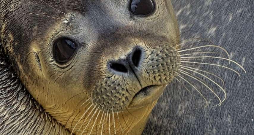 心痛!英國超萌小海豹「佛萊迪」被狗狠咬2分鐘重傷安樂死 飼主未繫繩釀禍
