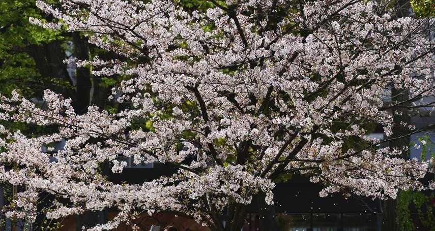 粉紅色警報:日本櫻花盛開創「1200年最早紀錄」 暖春敲響氣候變遷警鐘