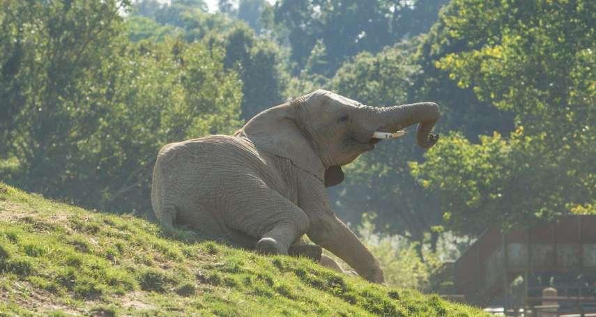 飛越7000公里,重返非洲!英國動物園13頭草原象將回到肯亞野化