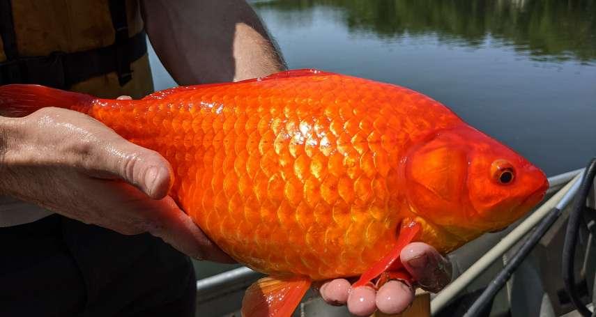 金魚在野外竟長到2公斤!美國明尼蘇達州呼籲飼主:勿隨意放生金魚