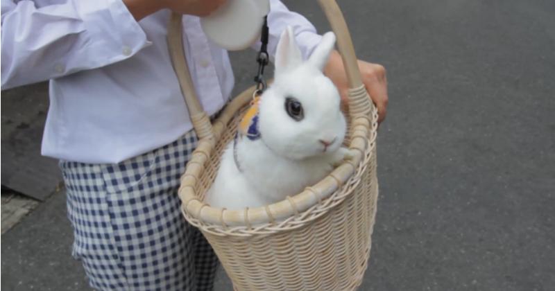店內的兔子也可以帶出門走走