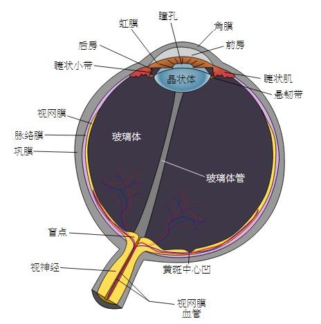眼睛構造圖(維基百科)